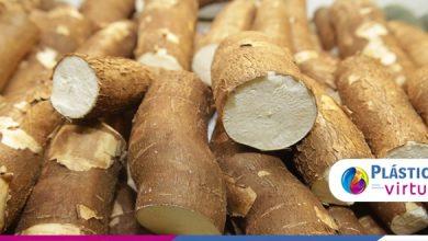 Foto de Alunos do IFMT criaram fralda biodegradável à base de mandioca